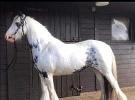 Coloured mare