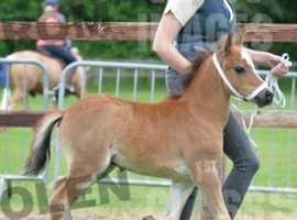 Quality Welsh A colt foal
