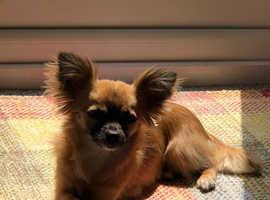 Chorkie   Chihuahua