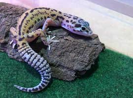 Lepoard geckos for sale