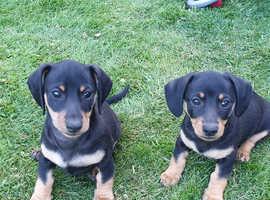 Beautiful mini dachshund puppy for sale