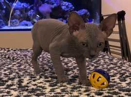 GCCF Reg Sphynx Kittens For Sale