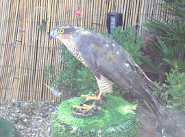 Female sparrowhawk for sale May px