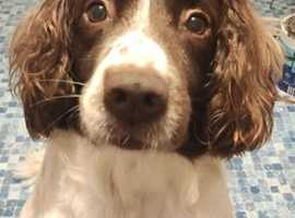 WANTED MALE SPRINGER SPANIEL PUP BELFAST AREA WILL TRAVEL