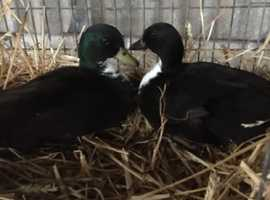 Pair black bibbed call ducks