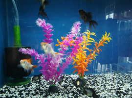 Goldfish at Tropical Funky Fish NP25 4PS