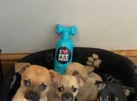 Chihuahua puppy's ready from 29/11/20
