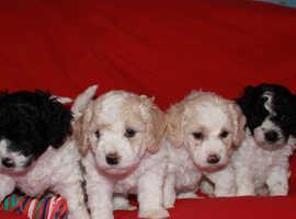 Bichon Frise x Miniature Poodle Parti