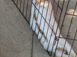 2 English spot rabbits for sale