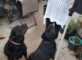 Two Loving Rottweilers For Reluctant Sale...