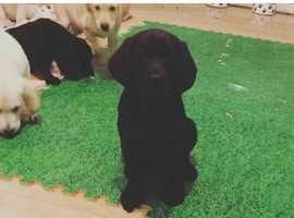 black / yellow  pedigree Labradors  , girls and boys