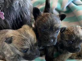 Cairn Terrier Puppies KC registered