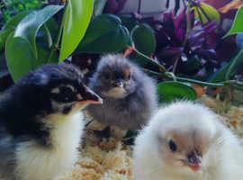 Beautiful Maran Chicks