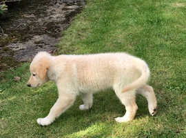Labradoodle x German Shepherd Pups
