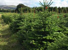 Real Nordman Christmas trees