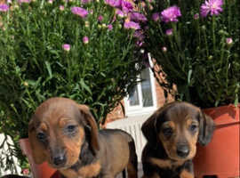 Beautiful dachshund puppies ready now