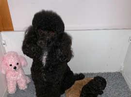Gorgeous toy poodle females