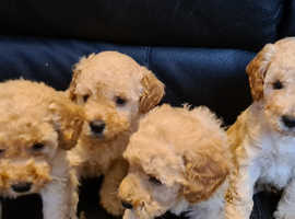 Miniature poodle puppies apricot