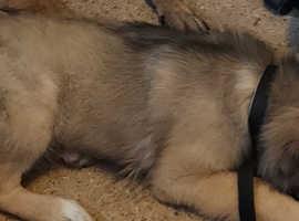 Caucasian puppy