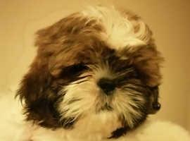 Beautiful puppi Shih Tzus