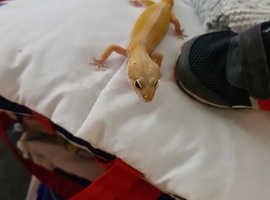 Female Leopard gecko !