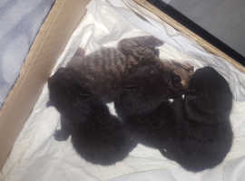 4 beautiful kittens for sale only 4days old
