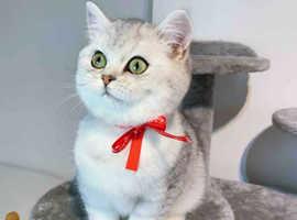 Outstanding GCCF registered BSH kitten