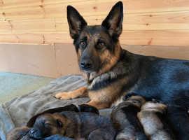German Shepard pedigree puppies
