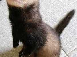 Female ferret and male kit