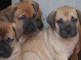 Boerboel puppies .  *******READY NOW *******
