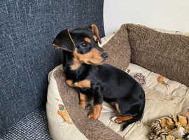 Daxijacks Puppy Dachshund x Jack Russell