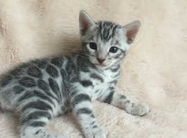 Stunning Silver Rosetted Bengal
