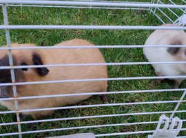 Californian male guinea pigs