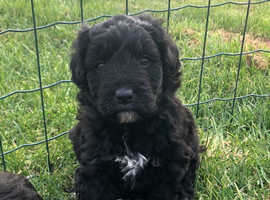 Bordoodle/Colliepoo F1 puppies for sale