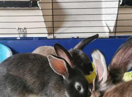 11 week old rabbits