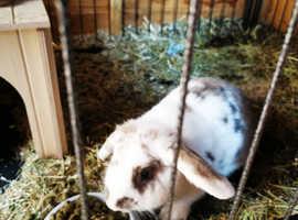 Free male rabbit