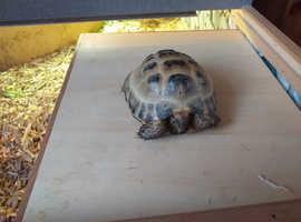 X2 male tortoises