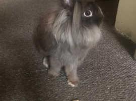 Beautiful brown lionhead  rabbit for sale