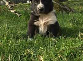 border collie / sheepdog puppies