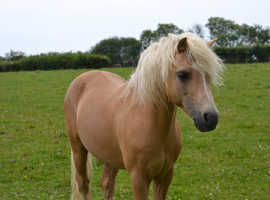 Beautyful palomino