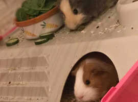 2 cute six month old guineapigs, cage and accessories