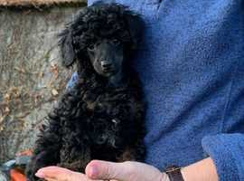 Beautiful top quality kennel club registered Toy Poodle puppies