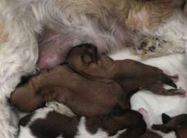 4 little shihzu pups