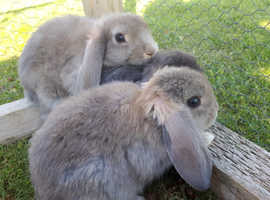 Cute pure-bred dwarf-lop baby rabbits for sale!