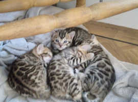 Beautiful litter of 4 gorgeous bengals