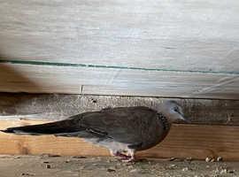 China doves
