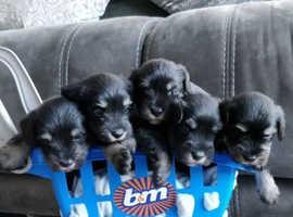 Beautiful litter of %Miniature Schanuzer_Long Haired Puppies!!!