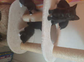 Maine coon cross part Bengal kittens only 2 left