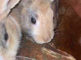 Dutch cross lop with 3 babies to Rehome with hutch