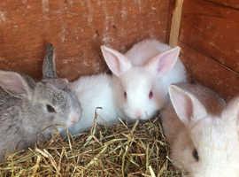 Lop ears bunnies